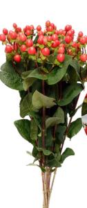 火龙珠-红色(红豆) (若干枝/扎)