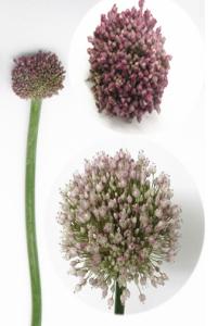 进口葱花-紫色 (1枝/扎)