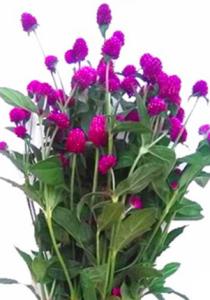 紫多头千日红 (若干枝/扎)