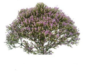 紫色夕雾草