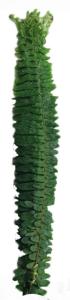 排草 (100枝/扎)