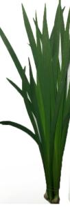 燕尾兰 (若干枝/扎)