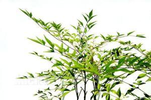 南天竺  绿色 (若干枝/扎)