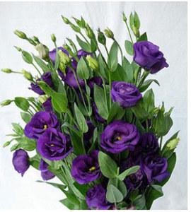 紫桔梗 (0.8KG/大扎)