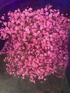 喷色粉色满天星 (1KG/扎)