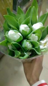 荷兰郁金香单瓣-白色
