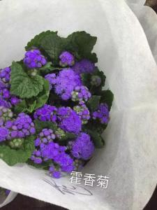藿香菊-紫色