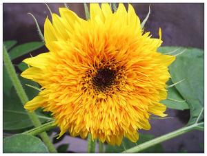 重瓣向日葵(单支)