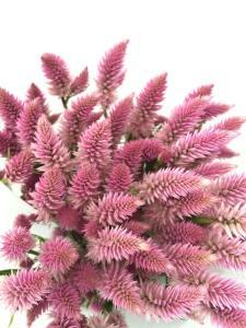 多头凤尾-粉色
