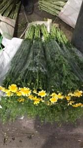 黄金菊(茼蒿花)