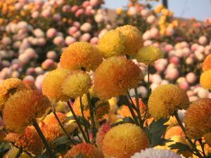 乒乓菊橙色