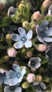 蓝星花-蓝色