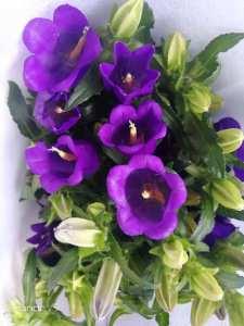 深紫风铃花