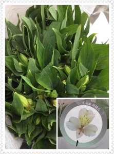 海盛水仙百合-白色
