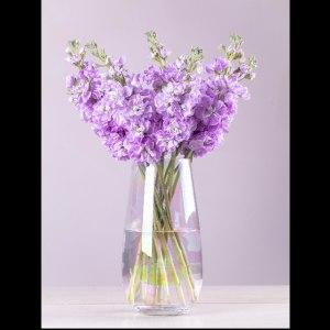 浅紫紫罗兰