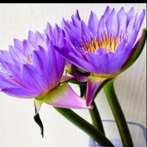 紫色睡莲 (10枝/扎)