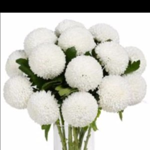 乒乓菊白色