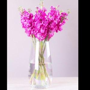 桃红紫罗兰