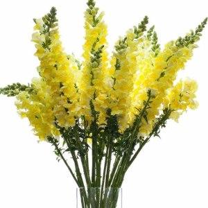 金鱼草黄色
