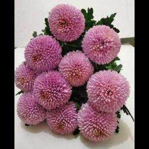 乒乓菊粉色