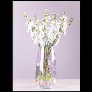 白色紫罗兰 (10枝/扎)