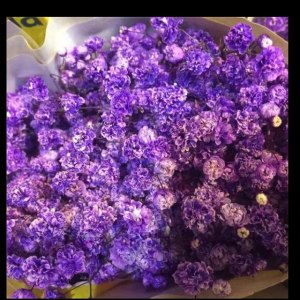 厄瓜多尔满天星-浅紫 (0.5KG/扎)