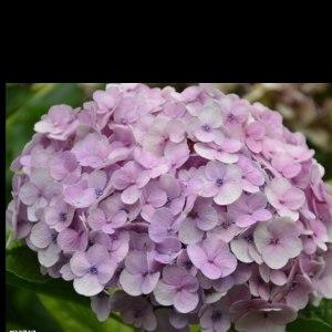 绣球粉紫 (1枝/扎)