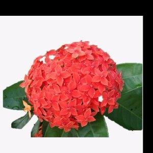 绣球红色 (1支/扎)