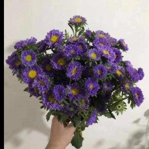 深紫小翠菊