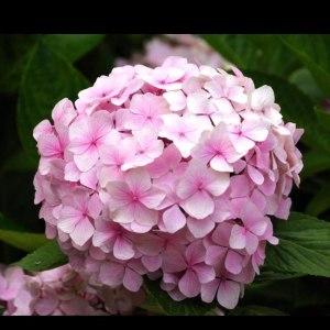 绣球粉色 (1枝/扎)