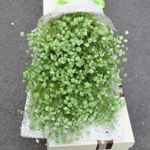 喷色绿色满天星 (0.5kg/扎)