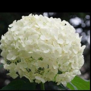 绣球白色 (1支/扎)