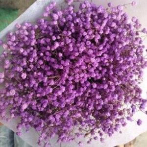 喷色紫色满天星 (0.5kg/扎)