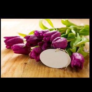 荷兰郁金香单瓣-紫色