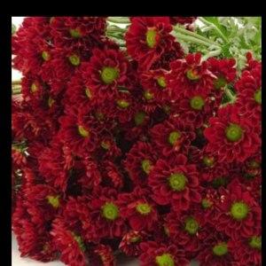 小菊绿心红 (10枝/扎)