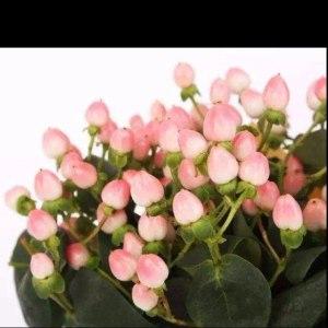 火龙珠-粉色 (若干枝/扎)