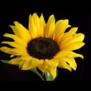 黑心向日葵