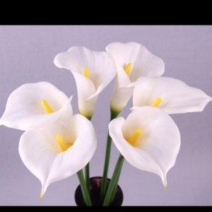 白色马蹄莲