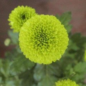 乒乓菊绿色