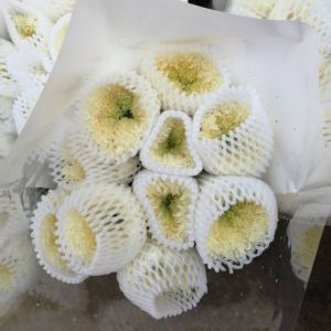 白色面包菊