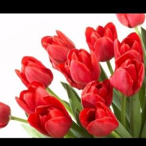 荷兰郁金香单瓣-红色 (10枝/扎)