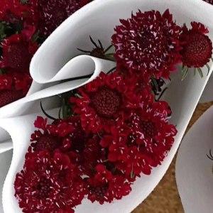 松虫草-红色