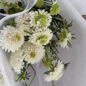 松虫草-白色