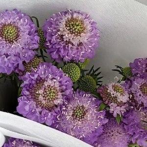 松虫草-浅紫
