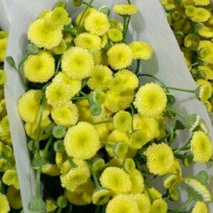 重瓣黄色洋甘菊