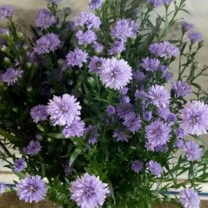 重瓣紫孔雀草