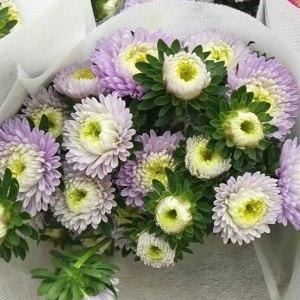 浅紫小翠菊