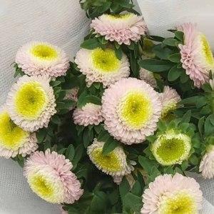 浅粉小翠菊