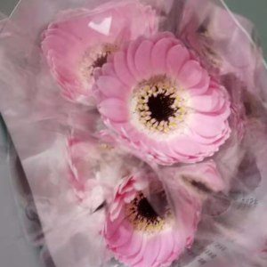珍爱非洲菊