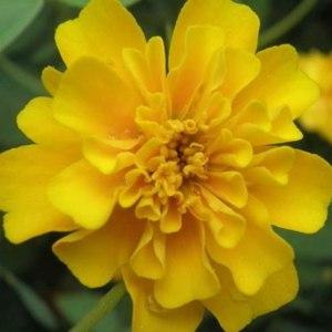 万寿菊黄色
